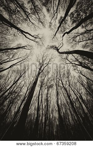 Spooky trees looking up in a dark forest on Halloween