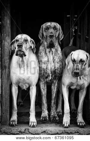 Three Big Dogs Guarding
