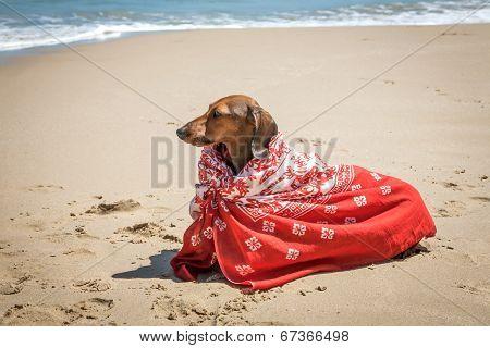 Dachshund Dog With Scarf On Beach