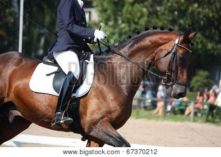 Bay Horse Portrait During Dressage Show