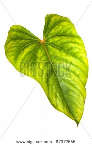 Bright Green And Yellow Surface Of Anthurium Leaf