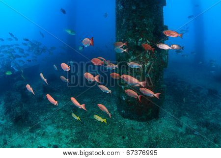 Tropical fish underneath an old oil rig