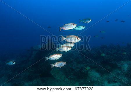 Bigeye fish in blue water