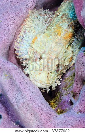 Scorpionfish in a sponge