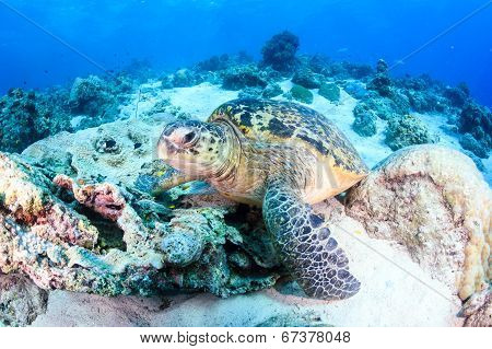 Green Turtle on the seabed