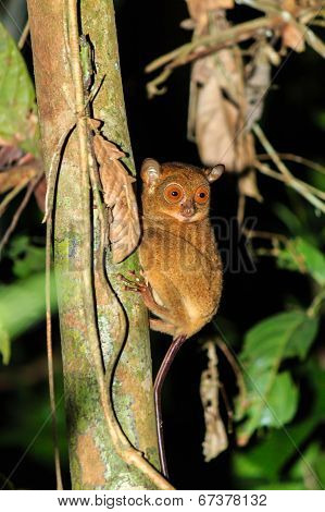 Tarsier Hunting Insects At Night In The Jungle
