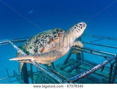 Green Turtle On Reef