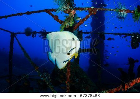 Batfish at  cleaning station