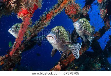 Several Sweetlips underwater