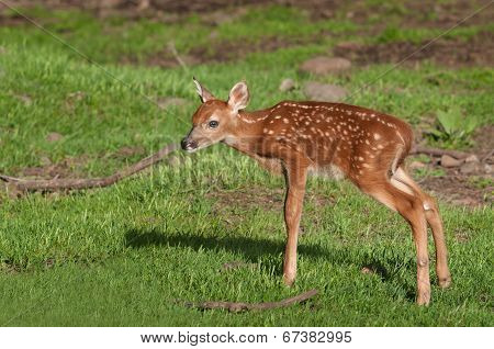 White-Tailed Deer (Odocoileus virginianus) Fawn Stands
