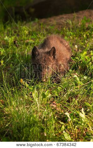 Black Wolf (Canis lupus) Pup In Grass