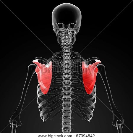 3D Render Medical Illustration Of The Scapula