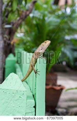Brown Lizard or asian lizard