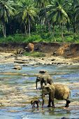 stock photo of elephant ear  - Family of Indian elephants - JPG