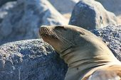 stock photo of sea lion  - Head shot of a sleeping Sea Lion - JPG