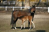 stock photo of breastfeeding  - Thoroughbred mare and foal breastfeeding in the field - JPG