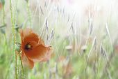 foto of wildflowers  - poppy wild field flower - JPG