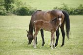 image of foal  - Mare and her foal in meadow - JPG