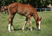stock photo of colt  - Foal on a summer pasture - JPG