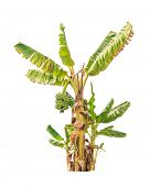 image of banana tree  - Banana trees tropical tree in the northeast of Thailand isolated on white background - JPG