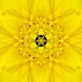 stock photo of kaleidoscope  - Yellow Mandala Concentric Dahlia Flower Kaleidoscope Center - JPG