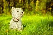 picture of west highland white terrier  - west highland white terrier on the grass - JPG