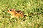 foto of chipmunks  - Eastern Chipmunk  - JPG