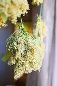 image of elderflower  - Dry elderflowers on the green cord near the window - JPG