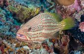 picture of grouper  - Grouper on a coral reef in the tropics - JPG
