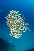 image of undersea  - Yellow tailed snapper near a small undersea wreck - JPG