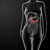 pic of pancreas  - 3d render illustration of female gallbladder and pancreas front view - JPG