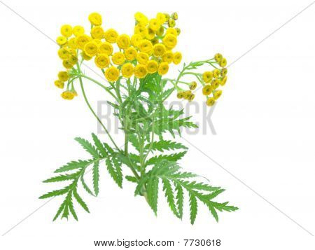flowers of tansy isolated on a white background.  Tanacétum