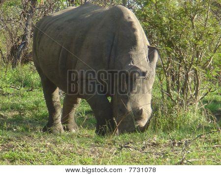 Wildlife White Rhino