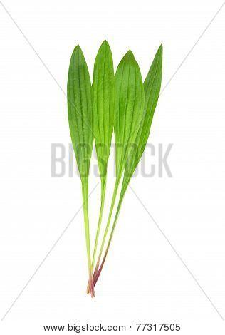 English Plantain (plantago Lanceolata)