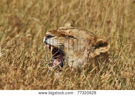 Liones Roaring