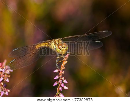 Dragonfly In Sunset Light Face On