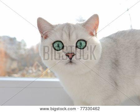 White British Kitten With Green Eyes Staring At Close Range.