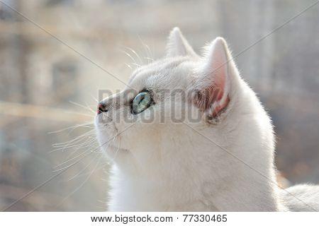 Portrait Of A White Kitten In Profile.