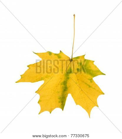 Single Yellow Autumn Leaf Isolated On White