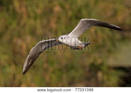 Black-headed Gull Flying