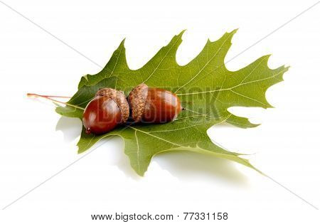 Two Connected Acorns On Leaf Isolated On White Background