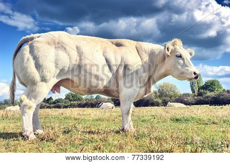 White Cow Grazing At Summer Field