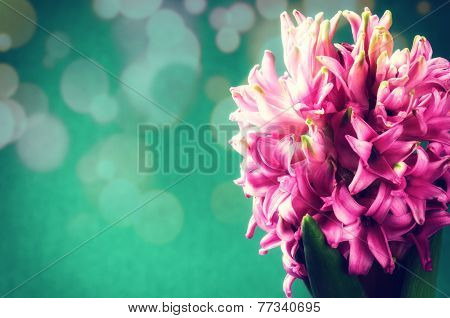 Spring Flowers. Pink Hyacinth On Green Background