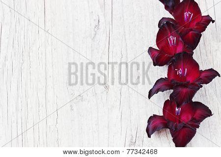 Maroon Gladiolus