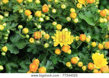 Chrysanthemum flowers and buds