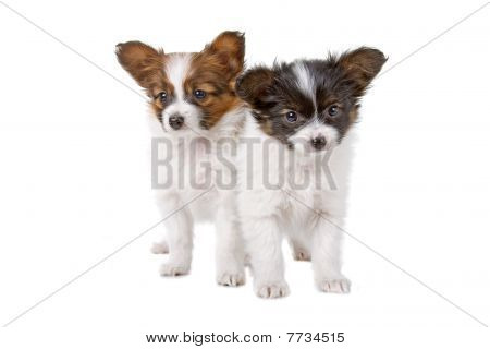 Papillon (Phalène ,Butterfly Dog,Squirrel Dog) puppies