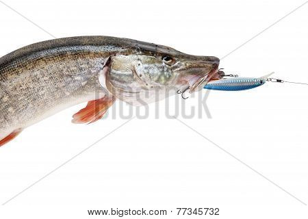 Pike With Bait In Mouth