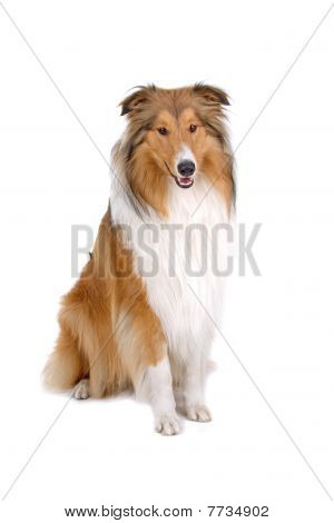 rough collie - scotish shepherd (lassie)