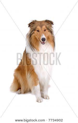 rough collie - scotish shepherd (lassie)