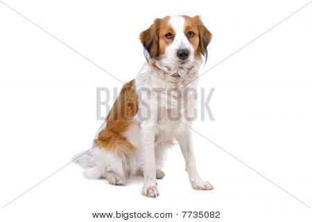 kooiker dog (kooikerhondje)